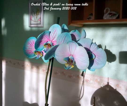 Orchid Blue & pink on living room table 3rd January 2020 002 (Phalaenopsis)