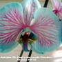 Orchid flower Blue & pink on living room table (Oldest flower) 16th January 2020 002 (Phalaenopsis)