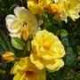 Roses 'Peace'