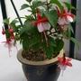 Fuchsia 'Snowcap'