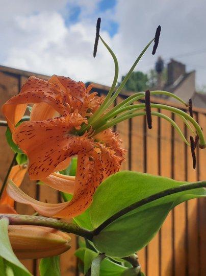 Turk cap lily