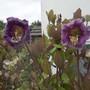 Cobaea scandens first flowers.