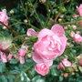 Rosa 'The Fairy' again (Rosa 'The Fairy')
