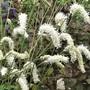 Sanguisorba tenuifolia alba