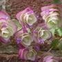 Origanum x hybridinum    Kent Beauty  again