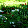 0128 1 - my patriotic red and white garden..
