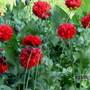 0108 1 Poppies