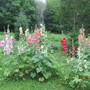 0051 5 I'm such a bore about my hollyhocks!