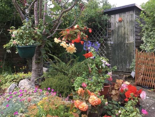 Begonias and Fuschias