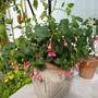 Fuchsia 'Display' (Fuchsia)