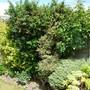 For Janey  ... garden fence almost hidden!