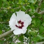 Hibiscus_syriacus_red_heart_close_up_2020