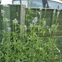 Salvia uliginosa - 2020 (Salvia uliginosa)