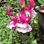Fuchsia 'Jose Tamerius'