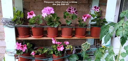 Pelargonium cuttings flowering on balcony 26th July 2020 007 (Pelargonium)