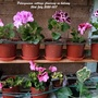 Pelargonium cuttings flowering on balcony 26th July 2020 007 (Pelargonium)