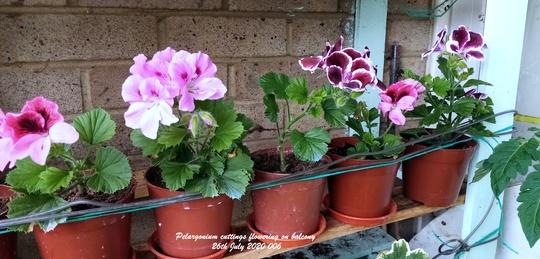 Pelargonium cuttings flowering on balcony 26th July 2020 006