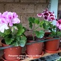 Pelargonium cuttings flowering on balcony 26th July 2020 006
