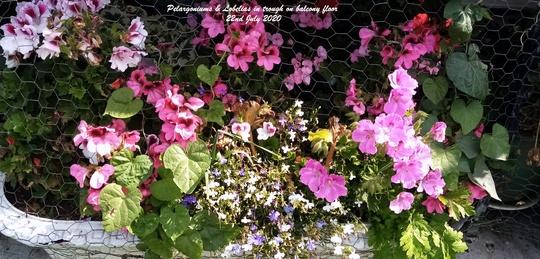 Pelargoniums & Lobelias in trough on balcony floor 22nd July 2020