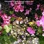 Pelargoniums_lobelias_in_trough_on_balcony_floor_22nd_july_2020