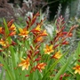 Crocosmia_jackanapes_2020