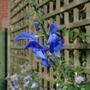 Salvia patens 'Guanajuato' - 2020 (Salvia patens)