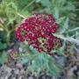 Achillea_millefolium_red_velvet_2020