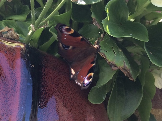 Garden has been brimming with butterflies today.