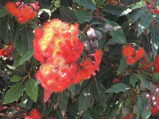 Bloom of Corymbosa. (Corymbosa filicifolia)