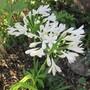 Agapanthus White (Agapanthus)