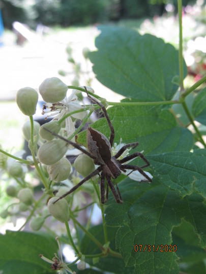 0243 1 wolf spider on Virgin's Bower