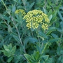 Bupleurum_fruticosum_close_up_2020