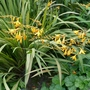 Crocosmia_coleton_fishacre_2020
