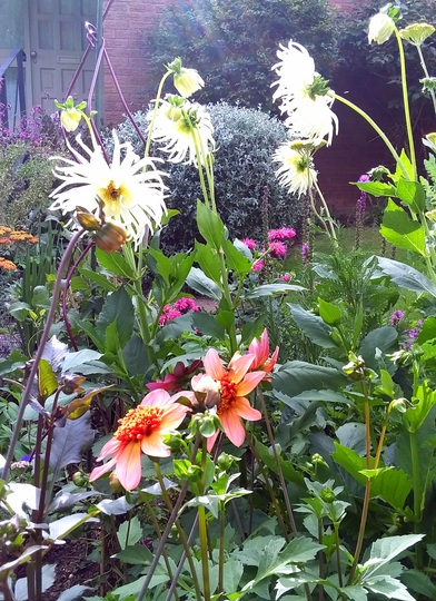 'Totally  Tangerine'Dahlia trying to compete in height with the Cactus Dahlia.