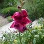 Gladiolus_papilio_ruby_2020
