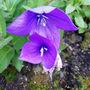 Ballon flower (Platycodon grandiflorus (Balloon Flower))