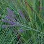 Amorpha canescens - 2020 (Amorpha canescens)