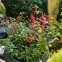 Haedy Fuchsia