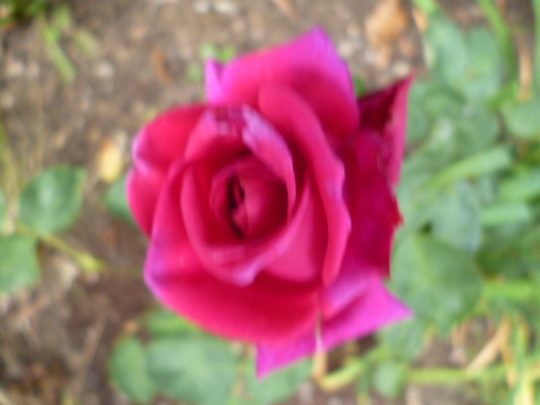 Stephen's Big Purple Hybrid Tea Rose