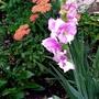 Gladiolus Priscilla.