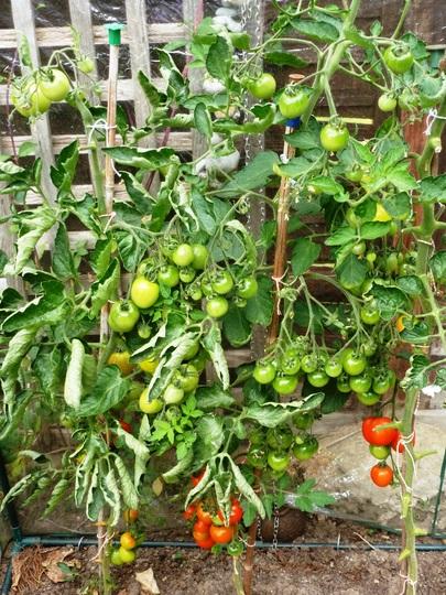 Manx marvel tomato