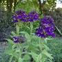 Lobelia x speciosa 'Hadspen Purple' - 2020 (Lobelia x speciosa)
