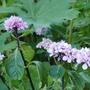 Hydrangea macrophylla 'Nigra' - 2020 (Hydrangea macrophylla)