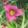 Grape Magic Daylily