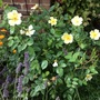 Rose 'Tottering by Gently'