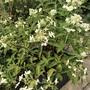 Hydrangea paniculata 'Levana'.