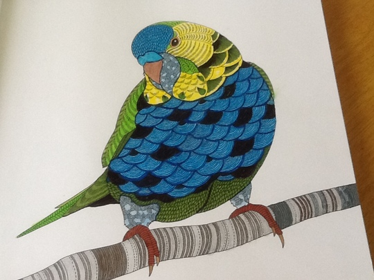 Colouring during Lockdown. Bright Budgie.