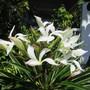 The flower up close.. (Pachypodium lamerei)