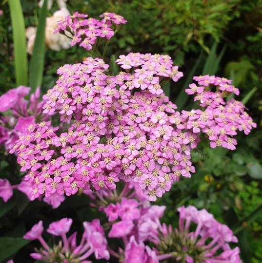 Achillea millefolium 'Lilac Beauty' yarrow