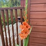 Gladioli,red is going to bloom